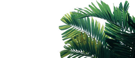 Tropical palm leaves pattern ornamental garden plant bush nature frame layout on white background for banner and cover page, tropical summer garden and forest concepts.