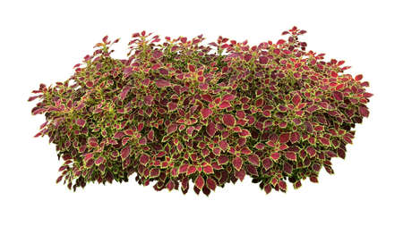 Deep red leaves with bright green yellow rim of tropical garden Coleus (painted nettle or poor man's croton) plant bush isolated on white background