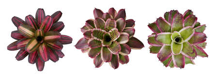 Set of 3 Bromeliads plant (Neoregelia bromeliad ) with different multicolor leaves pattern isolated on white with clipping path, the epiphytic flowering plant native to South American rainforest. 免版税图像