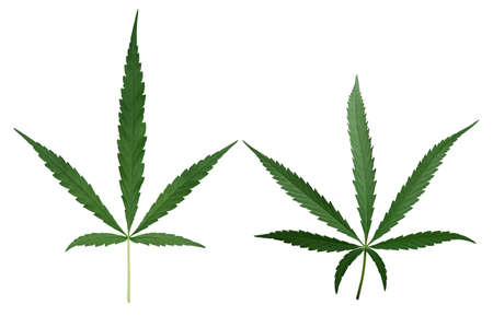 Male hemp or cannabis plant leaves with five leaflets and seven leaflets in one leaf isolated on white background 免版税图像
