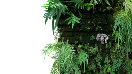 Old brick wall covered with mosses and tropical forest plants (ferns, Selaginella, Begonia) growing in wild, abandoned vertical garden with rainforest houseplants isolated on white with clipping path. 免版税图像