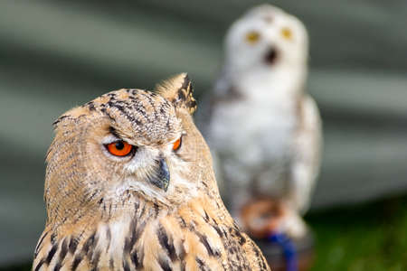 Owl close up - The great horned owl is generally colored for camouflage