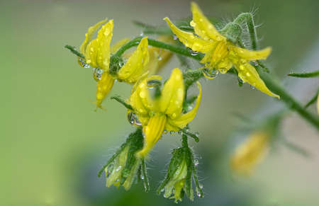 Close-up of a group of tomato flowers in the plant Stock Photo