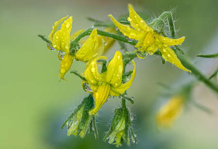 Close-up of a group of tomato flowers in the plant Reklamní fotografie