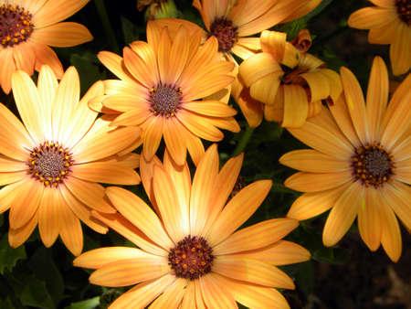 yellow: yellow sunflowers