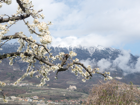 blossom in the yung spring and snow on the montain in the horizon