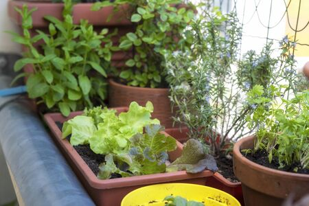 balcony gardening fresh and organic vegetables horticulture in urban house