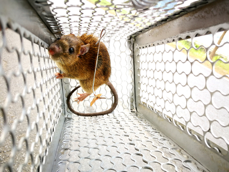 Rat in the cage trap.