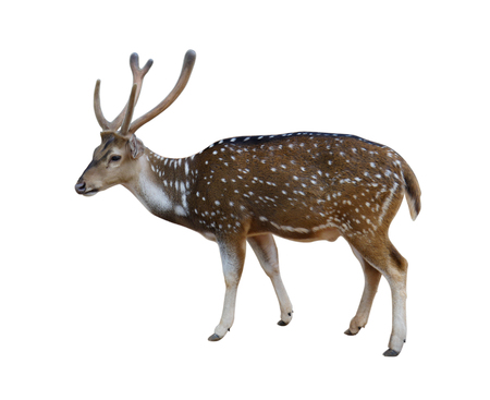 Male spotted deer isolated on white background with clipping path. Stock Photo