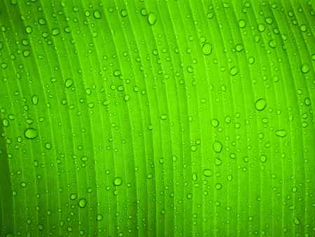 Close up water drop on green banana leaf after rain.