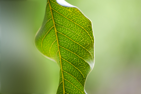 closeup of mango green leaf Stock Photo