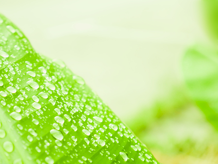 Selective focus water drops on banana green leaf, Background concept. 免版税图像
