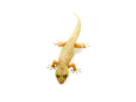 Selective focus lizard isolated on white background.