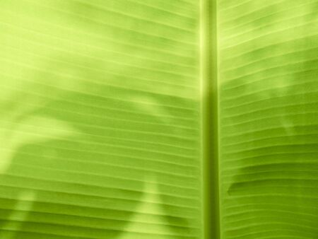 Close-up the bottom of the green banana leaf. Stock Photo