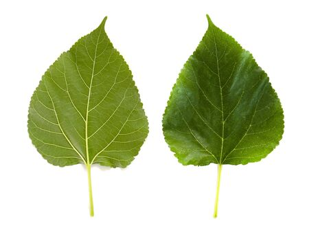 The green leaves of the mulberry top and bottom view isolated on white background.