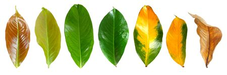 Collection leaves of mountain apple in top view from young leaves to mature leaves isolated on white background.