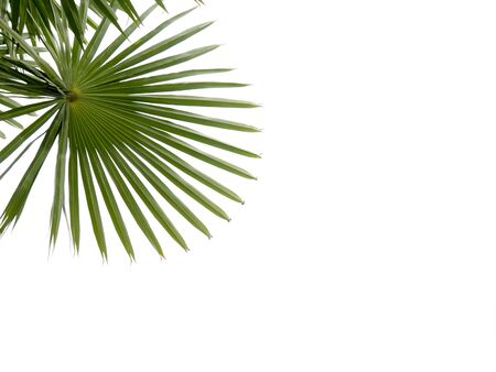 palm green leaf isolated on white background.