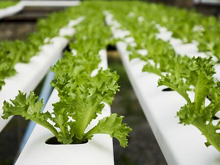 Close-up of salad vegetables in the hydroponic plot. Stock Photo