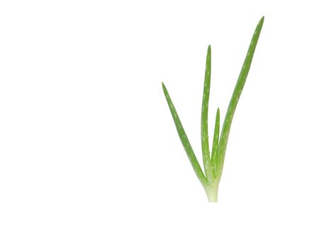 Aloe vera plant isolated on a white background