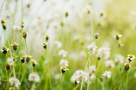 Close-up of the grass flower wilting with warm light in the morning. Stock Photo