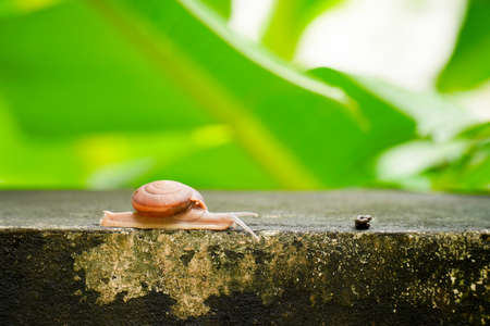 Close up creeping grape snail on the wall with blurry banana green leaf background.