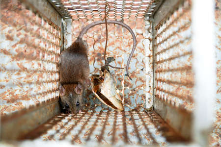 Close-up of a rat trapped in a mousetrap cage, Rodent control cage in house. Stock Photo