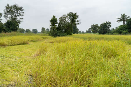 Jasmine rice field that was blown by the wind before harvest.