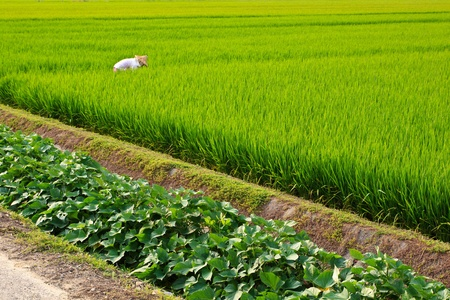 The landscape of rice fields with Farming Farmer at Taiwan