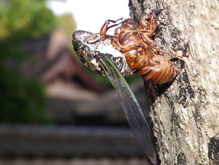 resourcefulness: The Cicada Withdraw its role Stock Photo