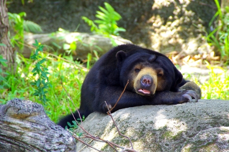 bend over: A Sleeping Bear bend over the Rock with Dangerous Sharp claws