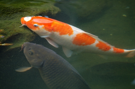 Koi in the pond Stock Photo - 13695755