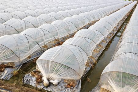 sheeting: The Taiwan s organic fruit orchards with Protection of Plastic sheeting Stock Photo