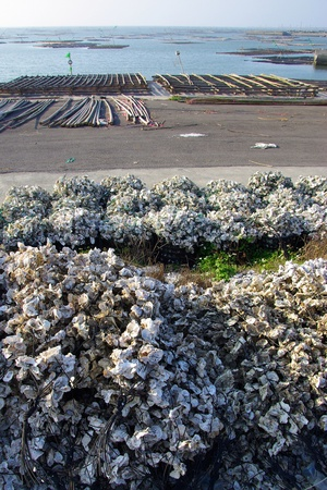 Oyster shells and oyster racks beside the sea