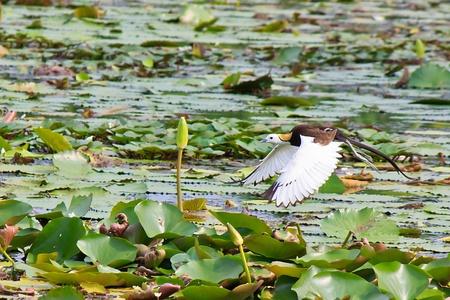 jacana: Flight of Taiwan jacana on Aquatic plants