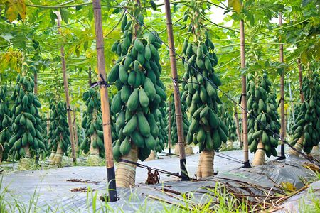 modernization: The modernization of papaya cultivation at Taiwan