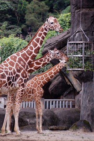 rearing: Three Elegant giraffes of Africa which rearing at Zoo Stock Photo