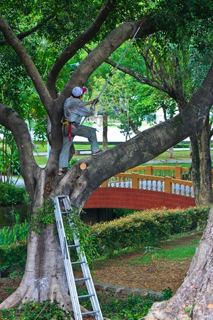 A Gardener who felling trees on big tree with Aluminum ladder