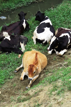 Farming Milk cows and Yellow Cattle by River Stock Photo