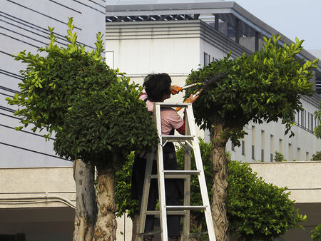 A Gardener who pruning trees with Aluminum ladder