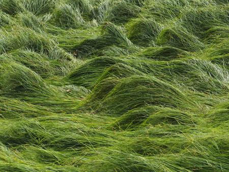 Grass waves with Irregular Lying down Grass Stock Photo
