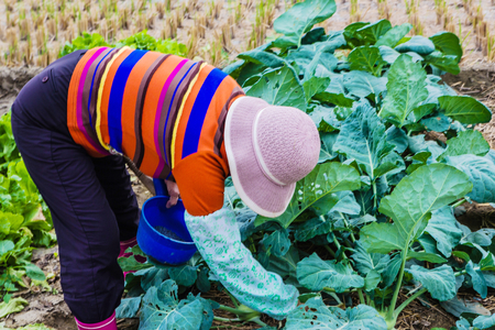 fertilizing: The landscape of Taiwan Vegetable cultivation with Fertilizing woman Stock Photo