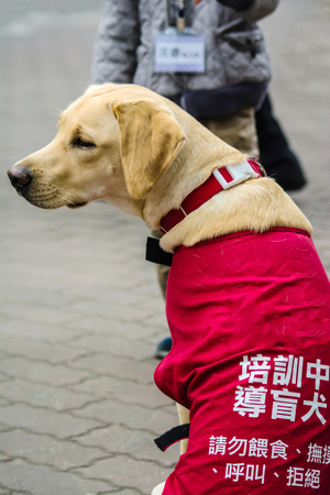 warning vest: A Training guide dog Wearing Vest with Warning phrases