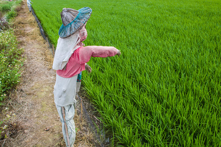 Scarecrow with Straw hat beside rice field