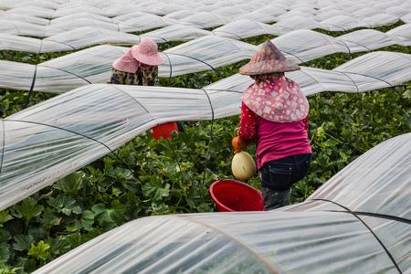 campesino: El cultivo de mel�n Hami y la cosecha con las mujeres campesinas Foto de archivo