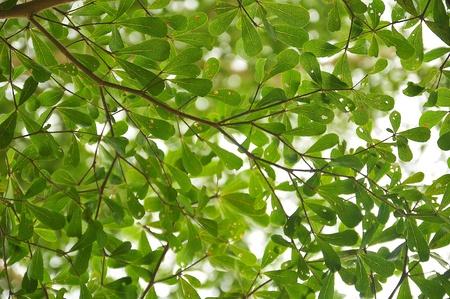 Leaves of Terminalia ivorensis Chev