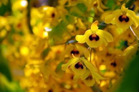 Dendrodium friedericksianum Rchb  f  Orchid of Chanthaburi Thailand