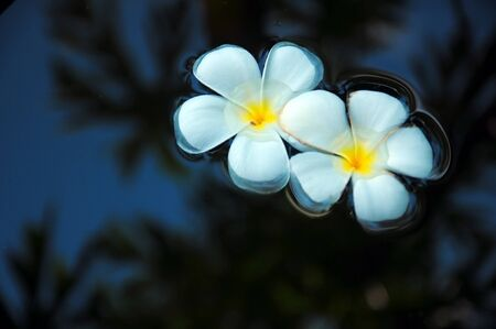flit: Two frangipani flowers float on the water