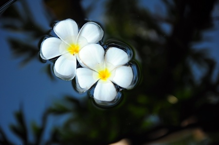 Two frangipani flowers float on the water