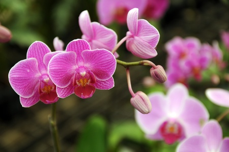 Pink  Orchid in the gar den, Phalaenopsis Stock Photo - 16681200