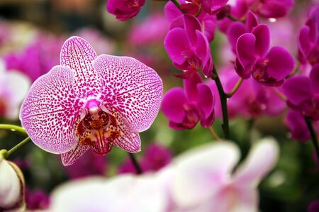 Pink  Orchid in the gar den, Phalaenopsis Stock Photo